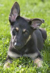 Miniature German Shepherd