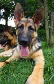 Free German Shepherd Puppies