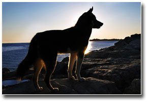 German Shepherd at Sunset