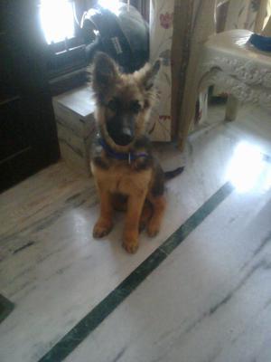 My German Shepherd Alex