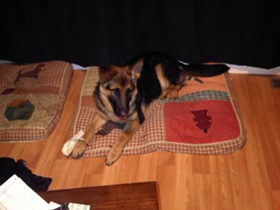 Big GSD Pup - 5 months 75 lbs