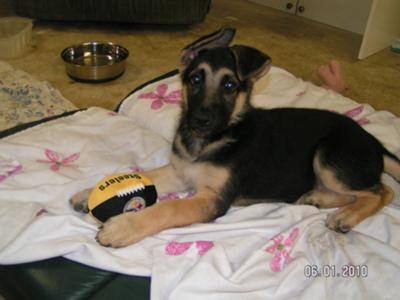 Blitz GSD Puppy at 4 Months