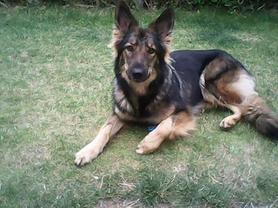 Breeze, my Purebred German Shepherd