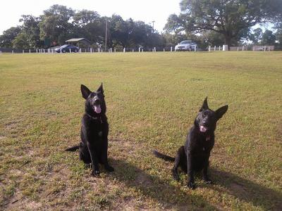 My solid black GSDs