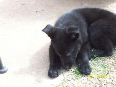 German Shepherd Puppy Gretchen
