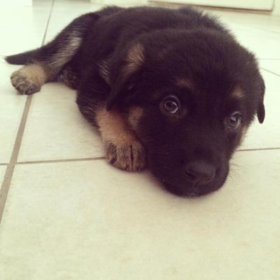 Duke, my small GSD