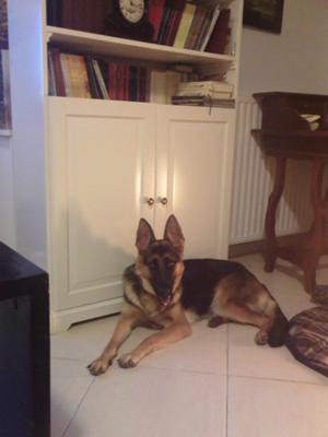 German Shepherd Eva at 14 months and 21 kg