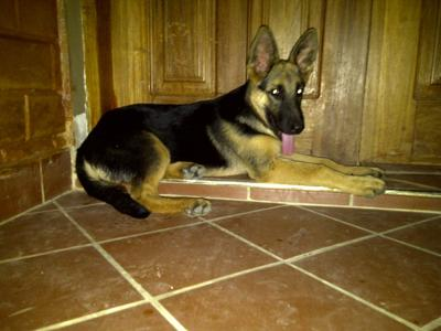 GSD Eyo 4 months old 20/02/11