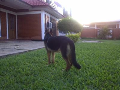 GSD Eyo at 6 months flashing tail