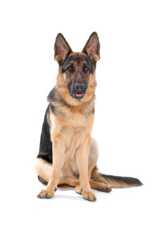 German Shepherd Hip Dysplasia Lazy Sit