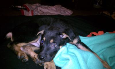 GSD Mix Puppy Nico Sleeping