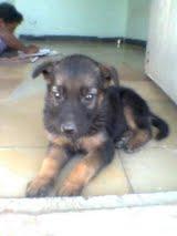 GSD mix puppy