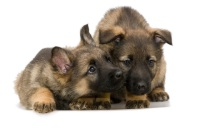 German Shepherd Puppy Pics