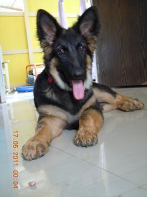 GSD Sam at 7 months