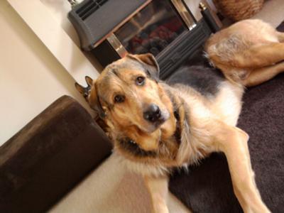 Bruce (GSD/ Irishwolfhound)