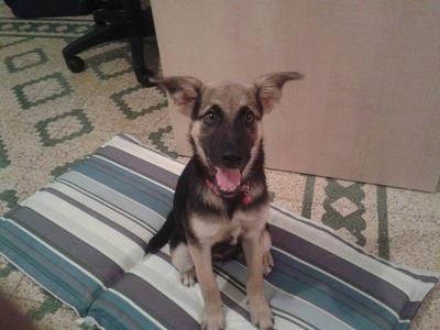 My German Shepherd Puppy Mix