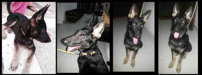 More photos of GSD Jack