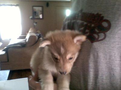 Keme, my German Shepherd Husky Mix