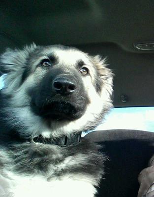 Koda, my German Shepherd