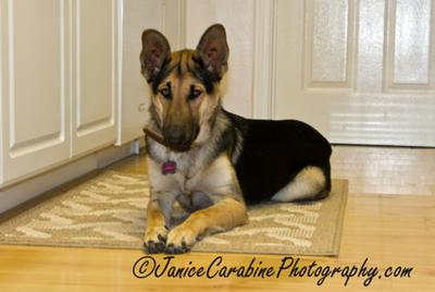 GSD Lola 1 year old