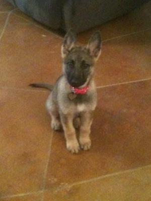 German Shepherd puppy Lynlee