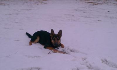 My German Shepherd Magnus