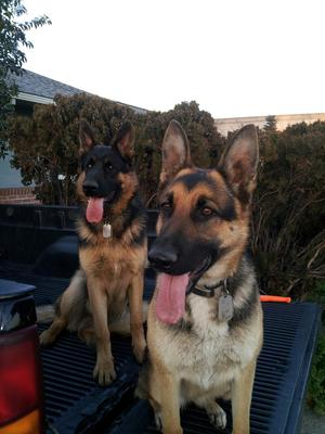 Major (@ 9 months) & Ryder (my German Shepherds)