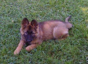German Shepherd Puppy Mia