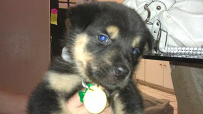 German Shepherd Mix Rocky (eyes are not blue - just the flash)