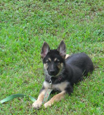 GSD puppy Duke