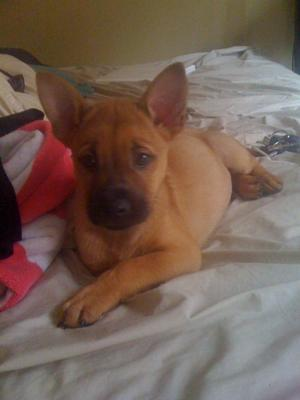 Opie! German Shepherd Mix