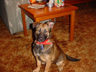 Pepper - German Shepherd Mix