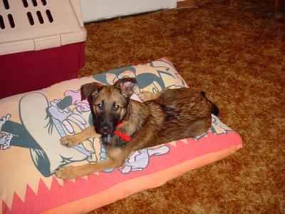 Pepper - German Shepherd Mix 2