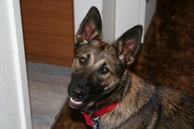 Pepper - German Shepherd Mix 4