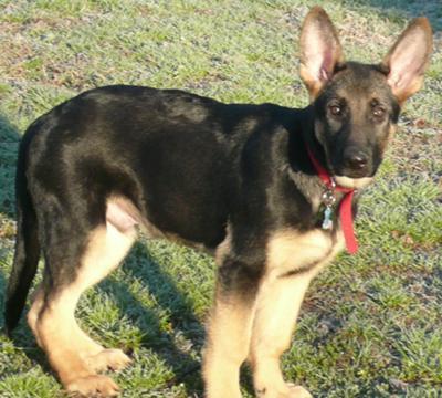 German Shepherd puppy Phoenix
