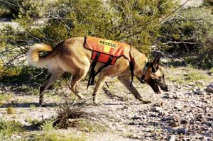 German Shepherd Search and Rescue Dogs