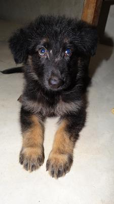 My German Shepherd puppy, Rimo