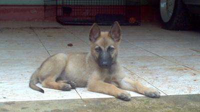 Rockey - German Shepherd Belgian Malinois Mix