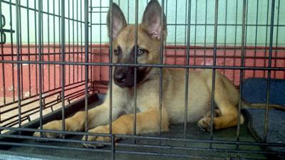 Rockey - German Shepherd Malinois