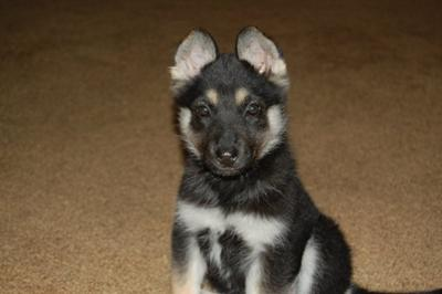 Baby Days - my German Shepherd Husky Mix