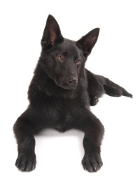 solid black german shepherds