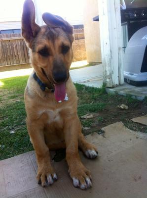 Duke, my German Shepherd