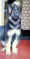 Dzango, my GSD