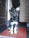 My German Shepherd, Dzango