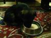 GSD puppy Hachi eating