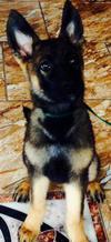 My German Shepherd, Max