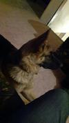 Baloo, my GSD