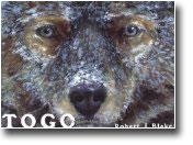 Togo Famous Husky