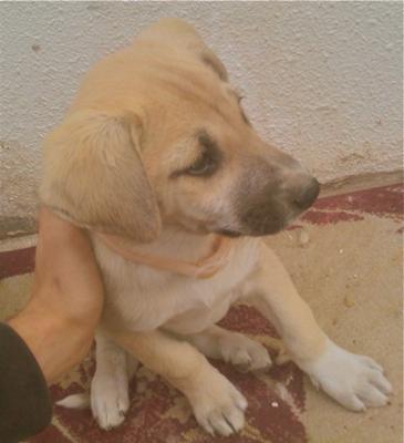 Seila - German Shepherd Mix Puppy