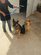 My German Shepherd mixes